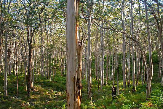 South Australian Forest