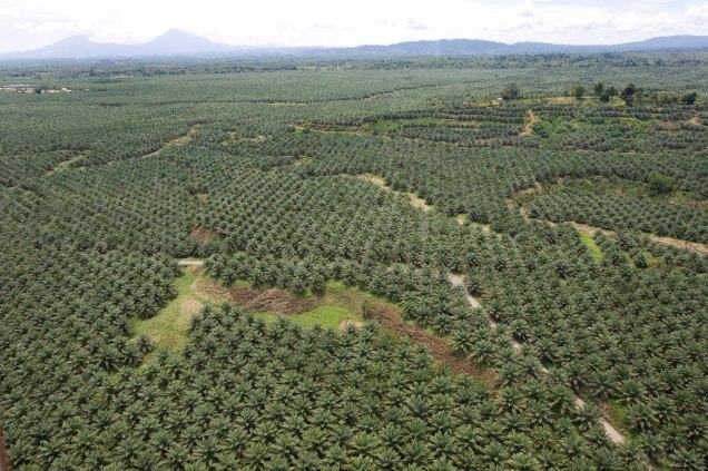 Palm plantation in Malaysia