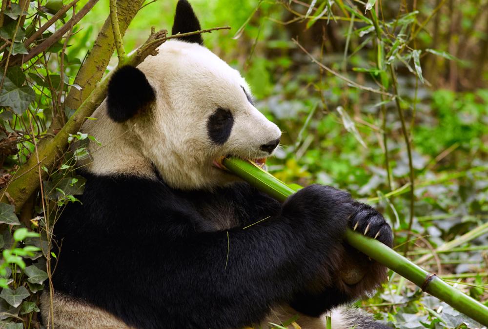 Where Is The Panda S Natural Habitat